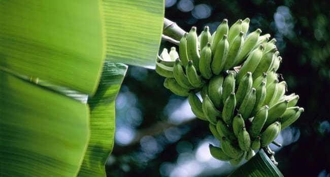 Banana x Intestino